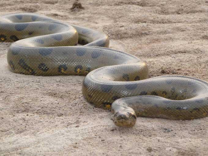 anaconda-large