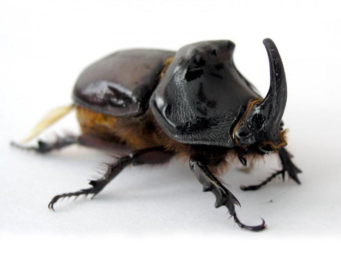 European rhinoceros beetle adult